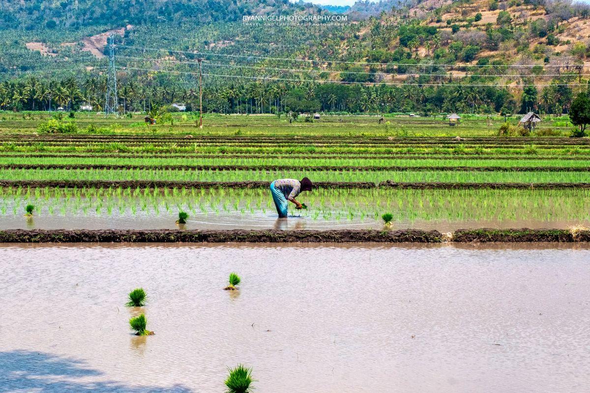 Ricefields Tandjung North Lombok