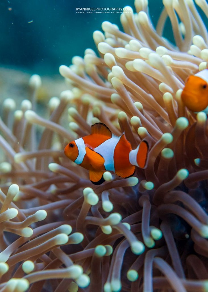 clown fish at mansuar island raja ampat