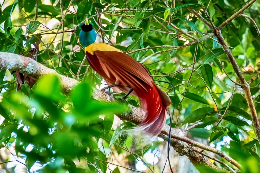 raja ampat gam island red tailed bird of paradise 1